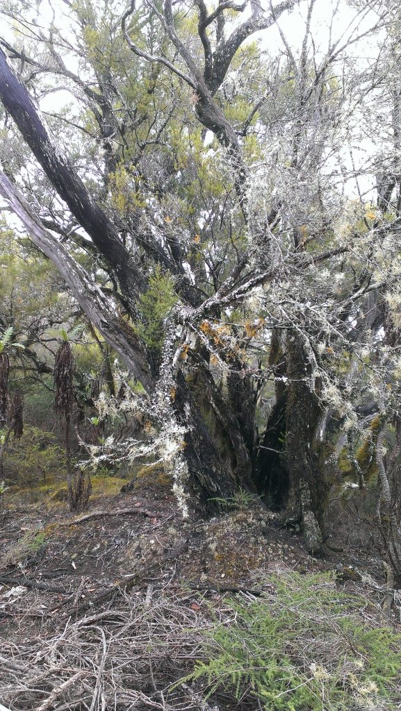 Laurasylva - Rasta Tree