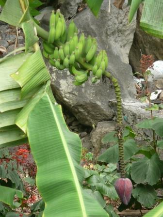 11 fleurs de bananier