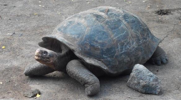 Tortue des Galápagos. Totalement inadaptée au monde actuel, elle ne survit que dans les centres d'élevage.