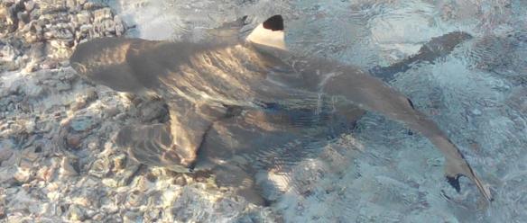 Mouillage que l'on partage avec d'autres habitants. Le nombre de décès par morsure de requins est faible, inférieur à celui par accident de la route ou par piqure de guêpe. Mais est-ce parce que ce grand prédateur ne s'attaque pas à l'homme ou parce que, confrontés à eux, nous redoublons d'attention ? Dans le désert du Kalahari où lions et hyènes constituent une menace permanente, les !Kungs ont tranché : pas de comportement insouciant, ils vont cependant, avec de simples badines,  éloigner ces derniers des cadavres d'antilopes chassées (le bénéfice protéique est supérieur au risque). Pour nous, remonter rapidement le poisson péché est un enjeu :-)