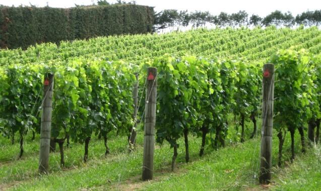 Les vignobles de Waiheke (ile située en face d'Auckland).