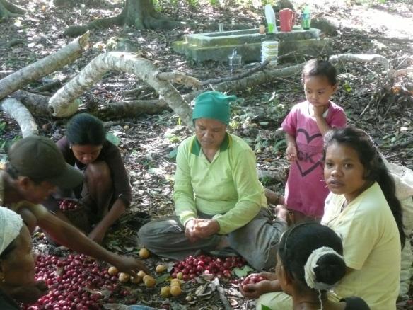 Banda Besar – Tri des noix de Muscade. L'arbre qui produit la noix de muscade mesure 10 à 15 mètres de haut. Comme il préfère l'ombre, les plantations s'épanouissent sous les Kendaris (des arbres immenses dont les troncs sont utilisés pour la fabrication des pirogues et qui produisent des amandes). Le cours de la noix de muscade a préservé l'archipel de Banda de la déforestation alors qu'elle sévit sur toutes les autres iles. Le fruit jaune-orange possède un noyau à membrane rouge vif qui entoure la noix. Le fruit est utilisé pour la confection de confiture, l'enveloppe rouge est moulue (macis) et la noix est râpée pour aromatiser sauces, pâtisseries, cocktails… La noix possède également des propriétés narcotiques significatives : 5 à 10 grammes avec un peu de sucre suffisent à dormir pendant 2 jours et une dose au-delà de 20g peut être mortelle. Un des principes actifs (myristicine) est dégradé par le foie en MMDA, une amphétamine bien plus puissante que la mescaline, ce qui fait de la muscade une dope attractive… hors la difficulté de dosage.
