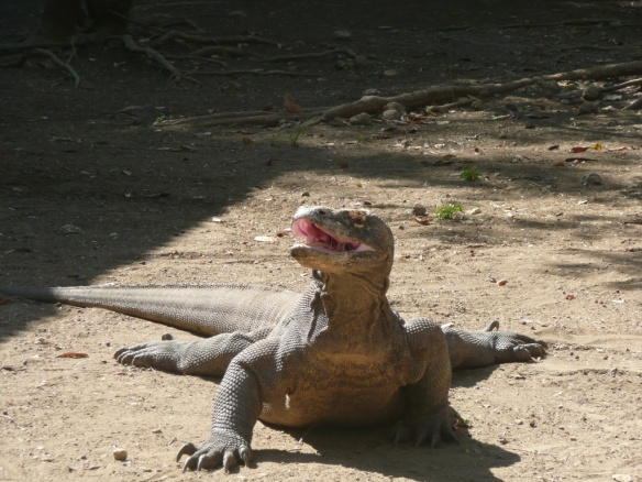 Varan de Komodo. Prédateur vorace endémique des iles de Komodo et Rinca. On suppose qu'il doit sa survie au fait que son habitat se site sur des iles inatteignables jusqu'à ce que le JiangDong (moteur in-board chinois) n'équipe toutes les pirogues, puis qu'il soit déclaré Espèce en danger [Animal à écailles, il est haram (interdit) mais ses œufs sont halal (autorisé); d'aucuns s'étonneront de l'inconséquence].