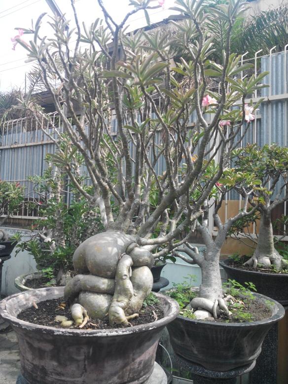 Yogyakarta - Bonsaï Et pourtant la nature est rieuse